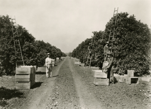 Orange grove, Irvine Ranch, picking and crates.